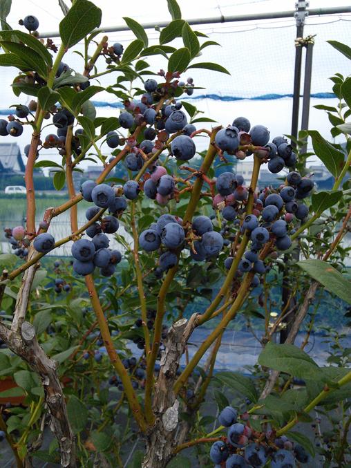 blueberry5
